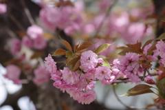 花散歩‐八重の桜1
