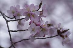 春の忘れ物‐江戸彼岸桜