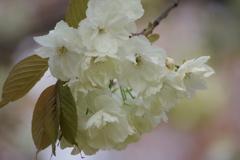 春を待つ心-ウコン桜