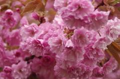 春の忘れ物‐八重