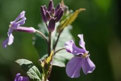 花散歩‐紫花菜