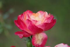 秋薔薇‐錦