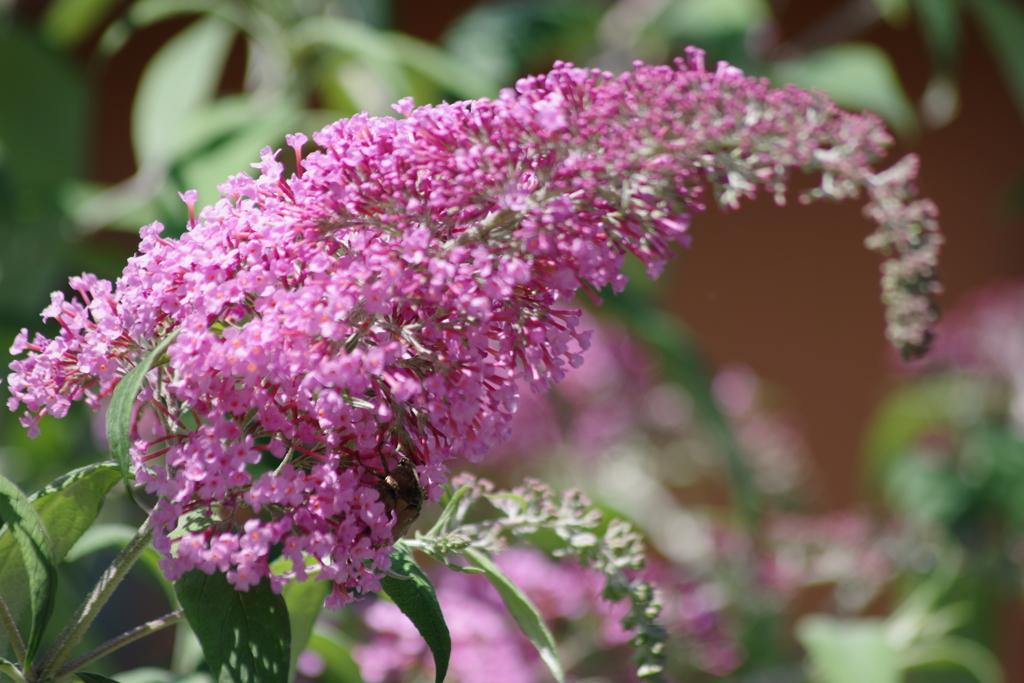 花散歩‐ブッドレアの大きな花穂