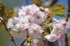 霞城の桜‐山形霞憐