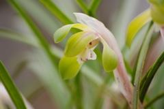 薬用植物園の春‐春蘭