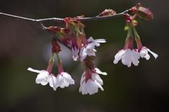 西蔵王高原で花散歩-オクチョウジザクラ