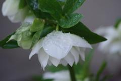 春の雪-白いクリスマスローズ