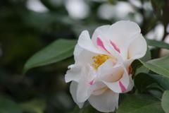 花散歩‐椿4
