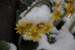 雪の中の花散歩₋ツワブキ