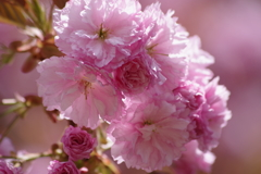花散歩‐八重の桜2