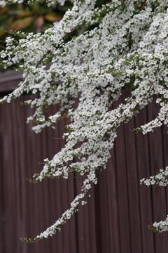 花散歩‐塀越しの雪柳