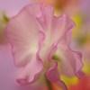 春の色-スイートピー1