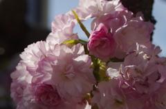 子安観音堂の桜-4