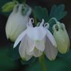 花散歩-白花の深山苧環