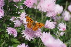 花散歩-食用菊とキタテハ