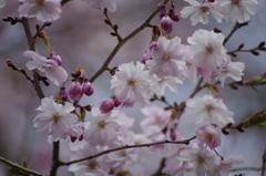 春の忘れ物-春の十月桜