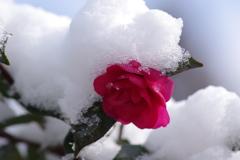 雪の朝-山茶花の雪2