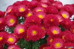 濃赤の小菊
