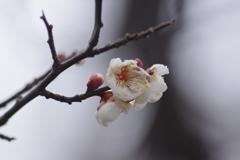 山形にも春の知らせ‐霞城公園の白梅3