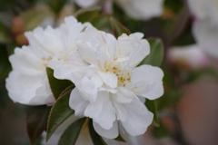 花散歩-白い山茶花