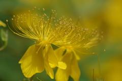 花散歩-ビヨウヤナギ