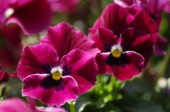 春を待つ心‐パンジー赤紫