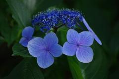 秋の入り口の紫陽花
