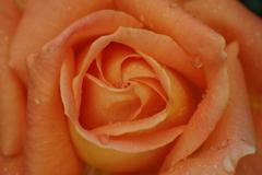 六月の薔薇-3