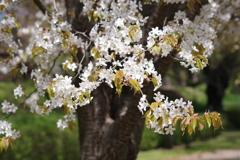 霞城の桜‐山桜