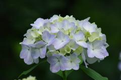 野草園の紫陽花-2