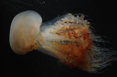 クラゲ水族館のエチゼンクラゲ