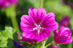 花散歩-銭葵