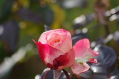 冬の薔薇-2