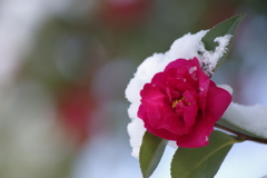 雪の朝-山茶花の雪3