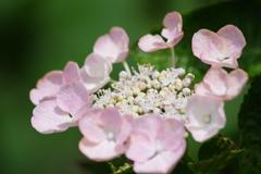 花散歩-ピンクのガクアジサイ