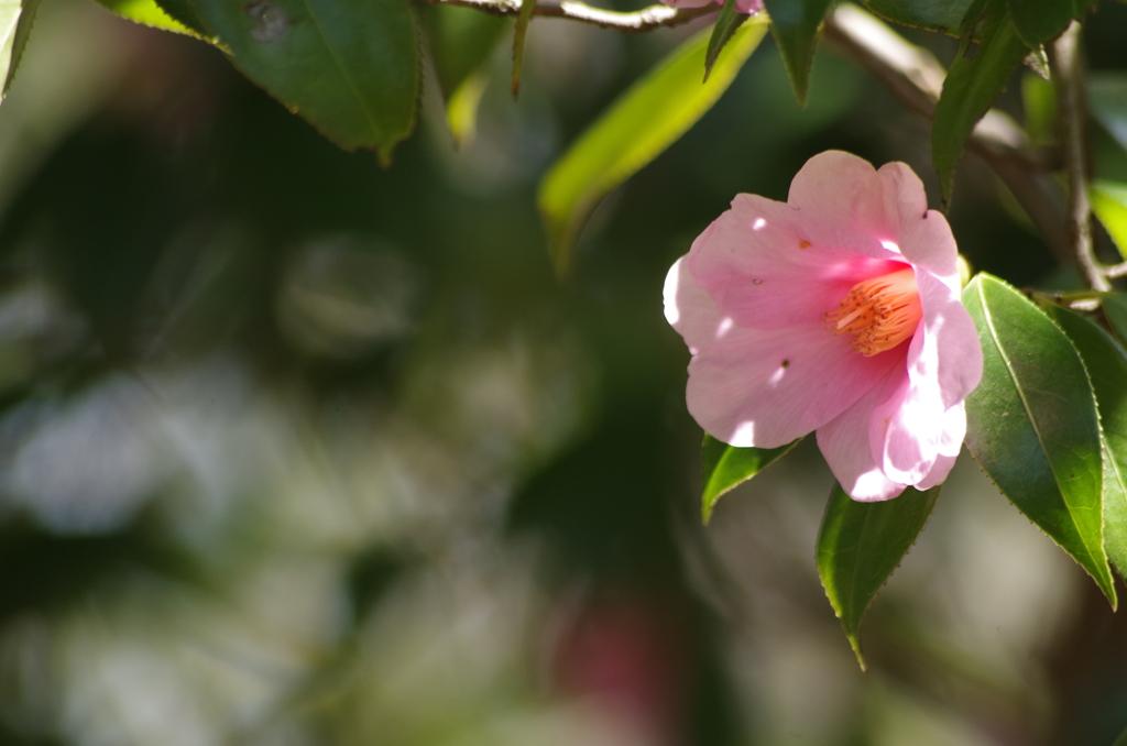 春を待つ心‐椿・太郎冠者1