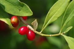 六月の花散歩-艶々の赤い実