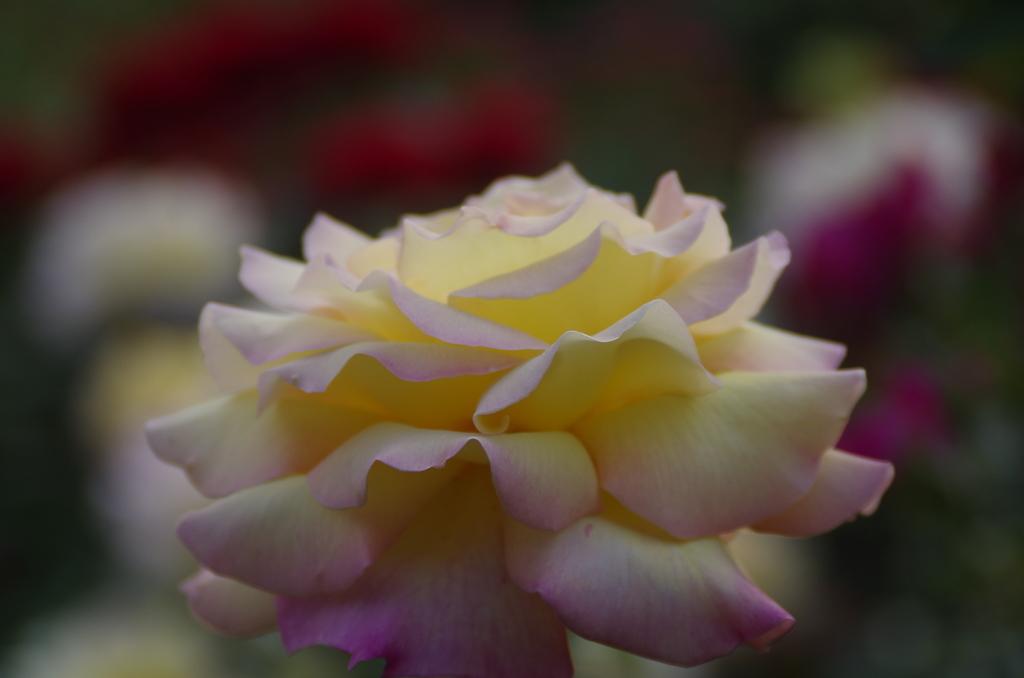 六月の薔薇‐ピース