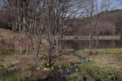 野草園で花散歩‐水芭蕉の咲く大平沼