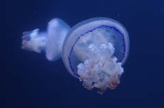 クラゲ水族館のパルモ