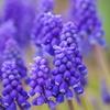 春を待つ心-ムスカリ