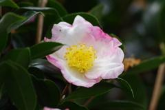 花散歩-山茶花が咲いた2