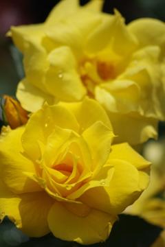 六月の薔薇-アンソニー メイアン