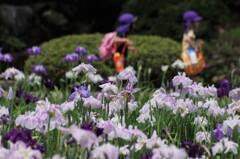 六月は花菖蒲-園児の遠足