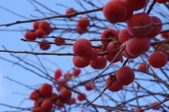 冬でも赤い実-柿
