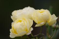 花散歩-師走のバラ