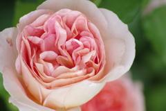 六月の薔薇-アブラハム ダービー