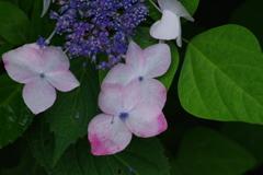 野草園の紫陽花-3