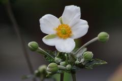 家の周りで‐白い秋明菊