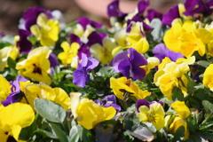 花散歩-ビオラの寄せ植え